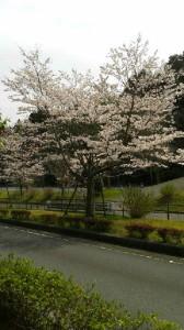 1604さくら斎場・桜